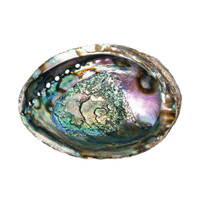 Wholesale Large Abalone Shells